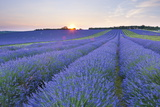 Lavender Field at Snowshill Lavender  the Cotswolds  Gloucestershire  England