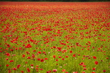 Poppy Field  Newark  Nottinghamshire  England  United Kingdom  Europe