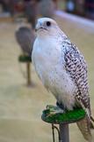 Falcon  Falcon Souq  Waqif Souq  Doha  Qatar  Middle East