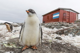 Gentoo Penguin Chicks (Pygoscelis Papua) at Argentine Rescue Hut  Mikkelsen Harbor  Trinity Island