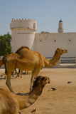 Camels in Camel Souq  Waqif Souq  Doha  Qatar  Middle East