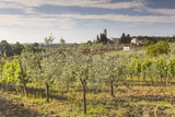 Olive Groves Near to Tavarnelle  Tuscany  Italy  Europe