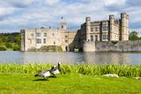 Geese at Leeds Castle  Maidstone  Kent  England  United Kingdom  Europe