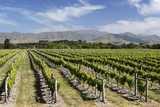 Vineyards  Renwick  Near Blenheim  Marlborough Region  South Island  New Zealand  Pacific