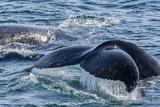 Humpback Whale (Megaptera Novaeangliae) Flukes-Up Dive in Dallmann Bay  Antarctica  Polar Regions