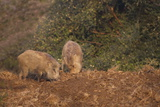 Indian Wild Boar (Sus Scrofa Cristatus)  Ranthambore National Park  Rajasthan  India  Asia