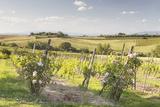 Vineyards Near to Montepulciano  Tuscany  Italy  Europe