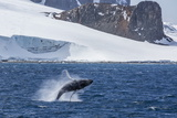 Humpback Whale (Megaptera Novaeangliae) Breaching  Gerlache Strait  Antarctica  Polar Regions
