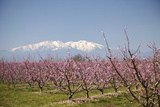 Fruit Blossom  Mount Canigou  Pyrenees Oriental  Languedoc-Roussillon  France  Europe