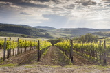 Vineyards Near to Montepulciano  Val D'Orcia  UNESCO World Heritage Site  Tuscany  Italy  Europe