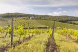 Vineyards Near Radda in Chianti  Tuscany  Italy  Europe