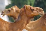 Camels in Camel Souq  Waqif Souq  Doha  Qatar  Middle East