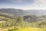 Olive Groves and Vineyards Near to Radda in Chianti  Tuscany  Italy  Europe