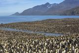King Penguin (Aptenodytes Patagonicus) Breeding Colony at St Andrews Bay