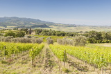 Vineyards Near to Montalcino  Val D'Orcia  UNESCO World Heritage Site  Tuscany  Italy  Europe