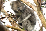 Koala in the Wild  in a Gum Tree at Cape Otway  Great Ocean Road  Victoria  Australia