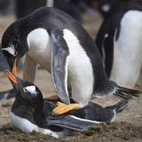 Rockhopper Penguins (Eudyptes Chrysocome) Mate During Breeding Season