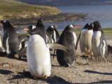 Gentoo Penguins (Pygoscelis Papua) Breeding Colony  the Neck  Saunders Island