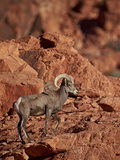 Desert Bighorn Sheep (Ovis Canadensis Nelsoni) Ram  Valley of Fire State Park  Nevada  Usa