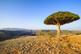 Dracaena Cinnabari (The Socotra Dragon Tree) (Dragon Blood Tree)