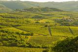 Vineyards  Motovun  Istria  Croatia  Europe