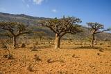 Frankincense Trees (Boswellia Elongata)  Homil Protected Area  Island of Socotra