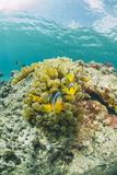 Red Sea Anemonefish Pair (Amphiprion Bicinctus) and Bubble Anemone (Entacmaea Quadricolor)