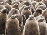 King Penguin (Aptenodytes Patagonicus) Chick Creche  Volunteer Point  East Falkland