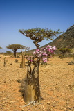 Bottle Tree in Bloom (Adenium Obesum)  Endemic Tree of Socotra  Homil Protected Area