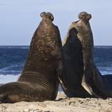 Two Southern Elephant Seal (Mirounga Leonina) Bulls Rear Up to Establish Dominance