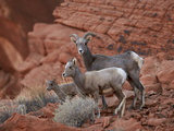 Desert Bighorn Sheep (Ovis Canadensis Nelsoni) Ewe and Two Lambs  Valley of Fire State Park  Nevada