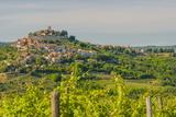 Vineyard  Motovun  Istria  Croatia  Europe
