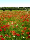Poppy Field  Figueres  Girona  Catalonia  Spain  Europe