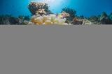 Red Sea Anemone Fish (Amphiprion Bicinctus) and Bubble Anemone (Entacmaea Quadricolor)