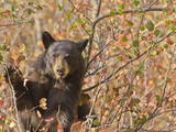 Cinnamon Black Bear (Ursus Americanus) Pauses from Collecting Autumn (Fall) Berries