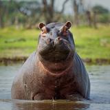 Hippopotamus  Okavango Delta  Botswana  Africa