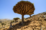Dracaena Cinnabari (The Socotra Dragon Tree) (Dragon Blood Tree) Forest
