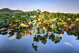 Lotus Plants at Baidi Causeway with Reflections and Baochu Tower in the Background