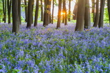 Bluebells in Bluebell Woods in Spring  Badbury Clump at Badbury Hill  Oxford  Oxfordshire  England