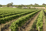 Giant Vineyards  Renmark  Murray River Valley  South Australia  Australia  Pacific