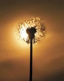 Dandelion Glow