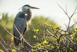 Great Blue Heron (Ardea Herodias) Bird