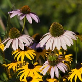 Black-Eyed Susan and Echinacea Flowers