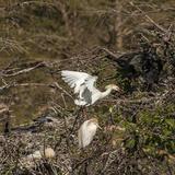 Cattle Egret with Chicks at Wakodahatchee Wetlands
