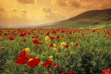 Red Wild Poppies in Galilee