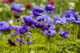 Violet Anemone Flowers Longwood Garden Spring