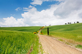 Path with Cypress Trees in Field  San Quirico D'Orcia  Val D'Orcia  Siena Province  Tuscany  Italy