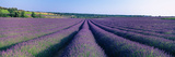 Lavender Field  Provence-Alpes-Cote D'Azur  France