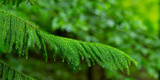 Close-Up of Norfolk Island Pine (Araucaria Heterophylla) Leaves  Hamburg  New York State  USA