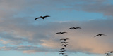 Silhouette of Flock of Pelicans in Flight  California  USA
